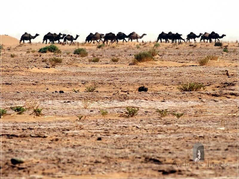Camel Desert Trek - Day 4: wild camels at the horizon