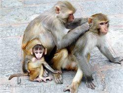 Kathmandu - Swayambhunath - The Monkey Temple with monkeys
