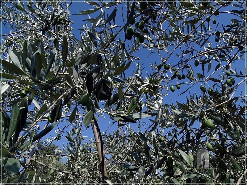 Thassos Island - Rachoni Village: olive trees everywhere