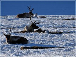 Nordkjosbotn reindeers, Northern Norway
