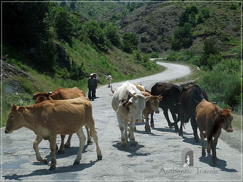 Cattle on the bad road from Korçë to Leskovik